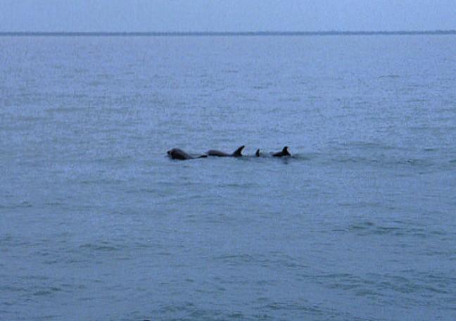 Dolfijnen in de Gambia River