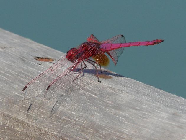 Libelle bij de Nam Song