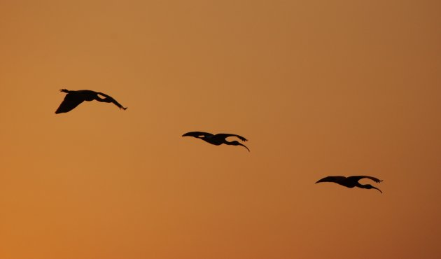 Ibis by sunset