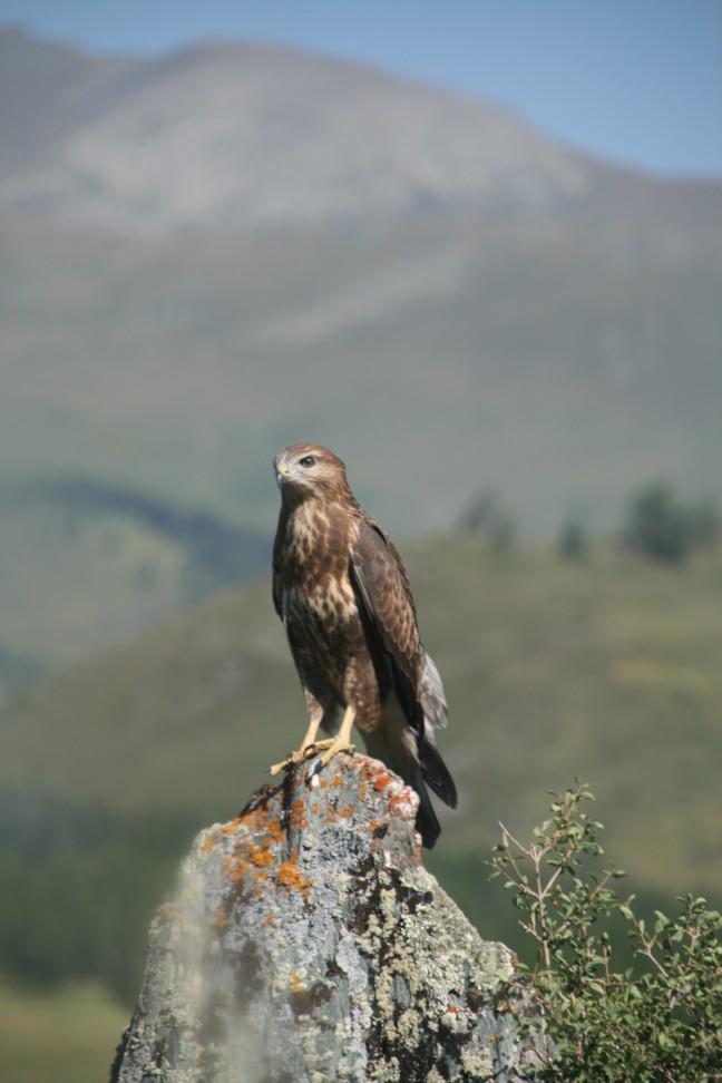 roofvogel op de altai pass