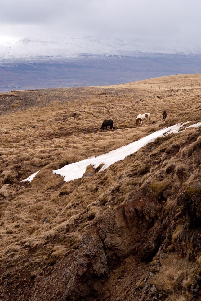 IJsland paarden