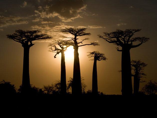 Baobabz