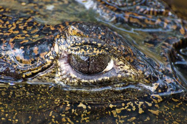 Krokodillen tranen?