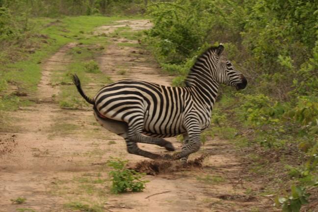 Zebra op snelheid