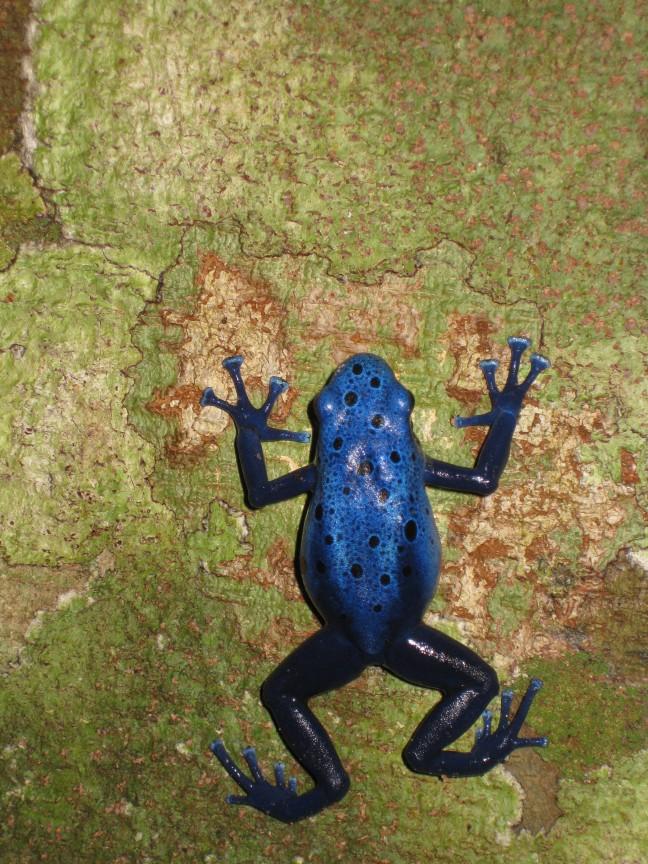 geen groene maar een blauwe kikker..