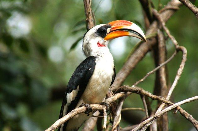 Neushoornvogel in Samburu NR