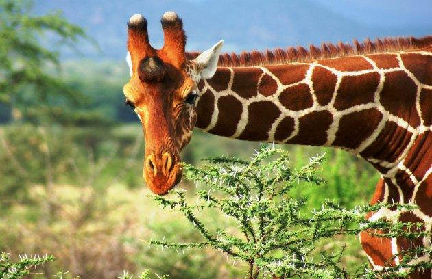 Nieuwsgierige Giraffe