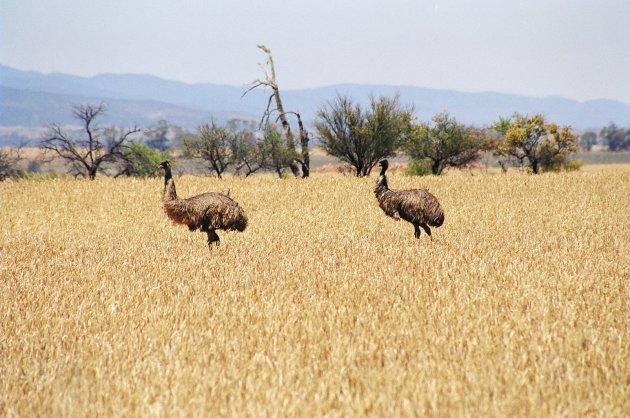 Emoes in het graan