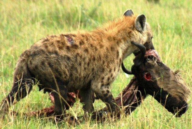 Wildebeest killed