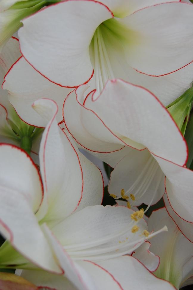 Amarillis in bloei