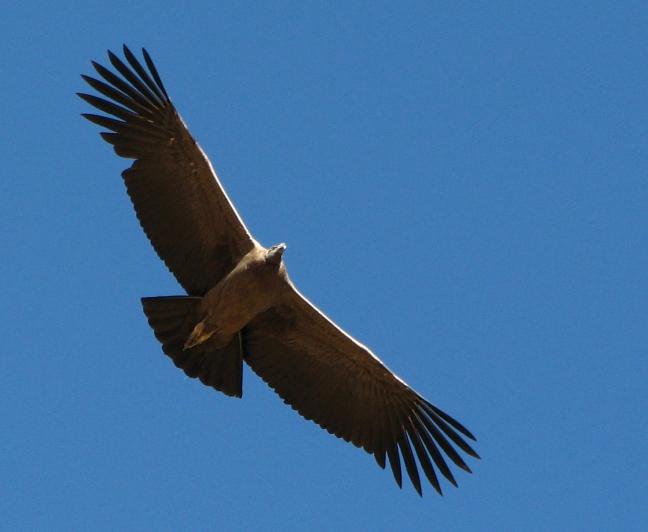 De majesteuze condor
