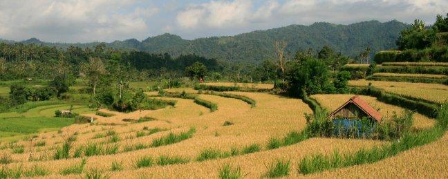rijstpanorama