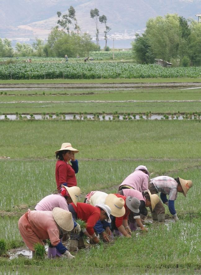 Rijst teelt