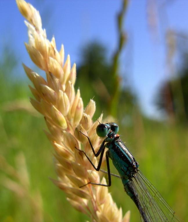 Blauwe libelle