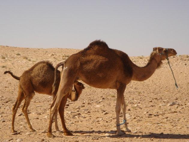 Kamelenmoeder met kind