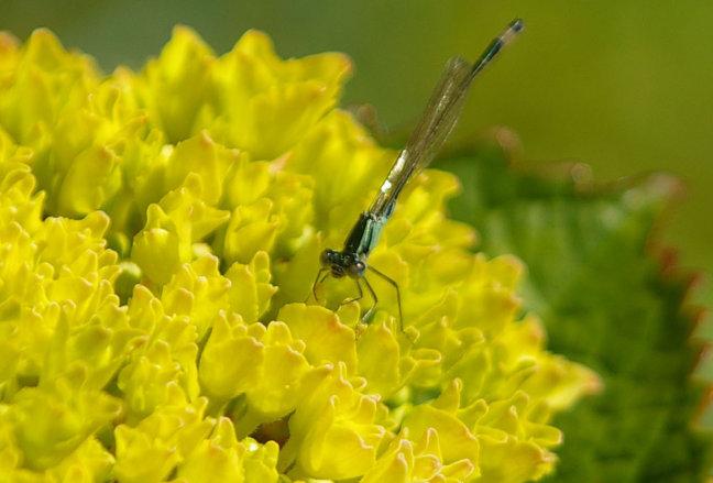 Libelle op Hortensia