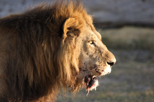 Leeuw Moremi Game Reserve