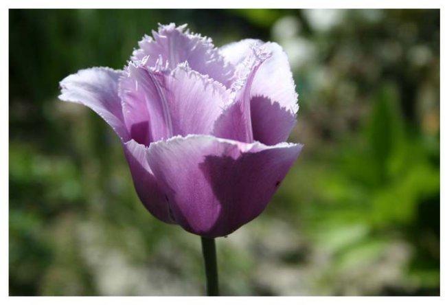 Tulp(en) uit ...