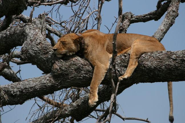 Leeuw of hond?