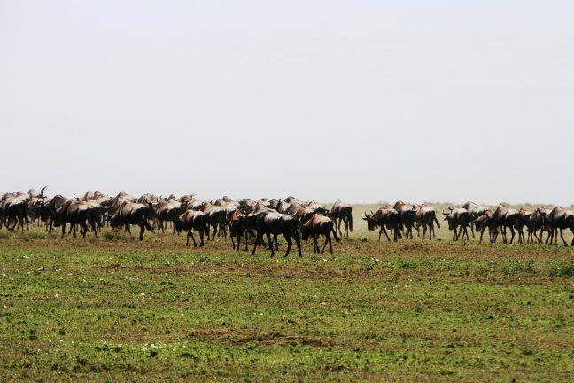 Great Migration zuid-Serengeti