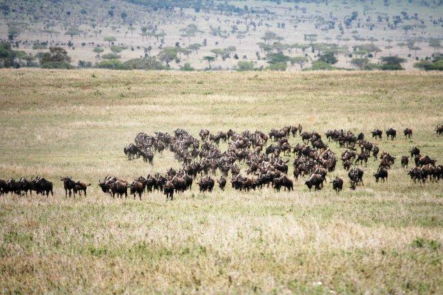 Great Migration  kudde