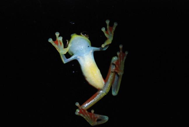 Fluoriserende kikker