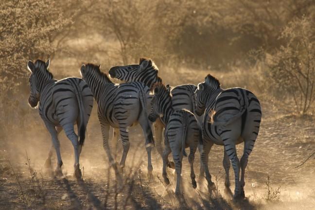 Zebra's @ Khama Rhino Sanctuary
