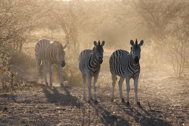 Meer Zebra's @ Khama