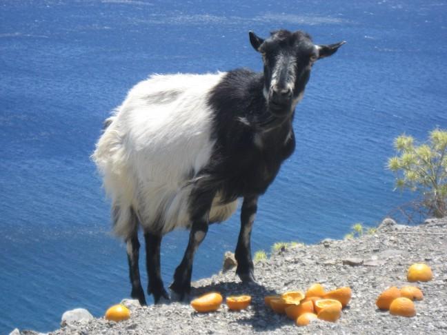 Griekse geit