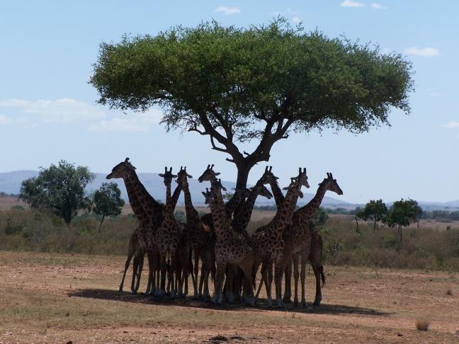 Giraffen zoeken de schaduw