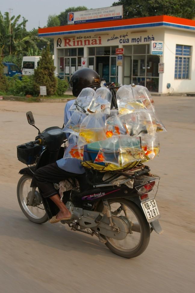 Pas op goudvissen transport!