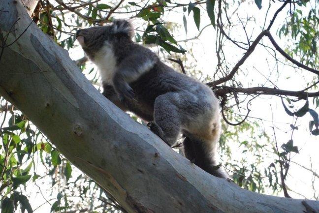 Koala op camping Kennett River