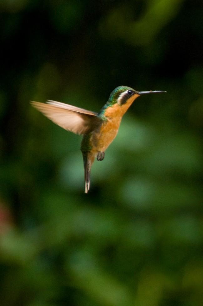 Kolibri in de vlucht!