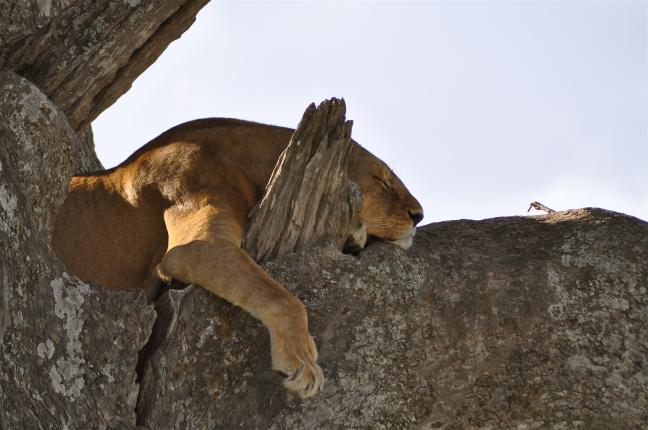 Slapende leeuwin in boom - relax!