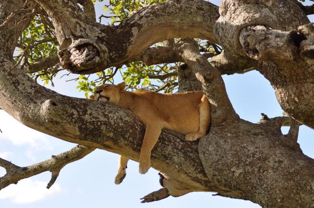 Leeuwin in boom 2