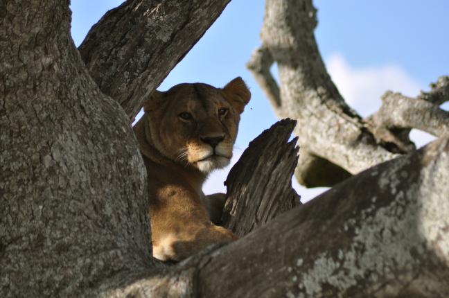 Leeuw in boom 3