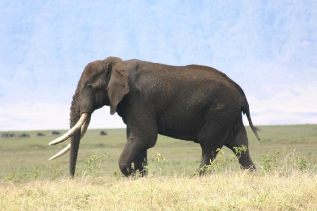 Grote bul in ngorongoro crater