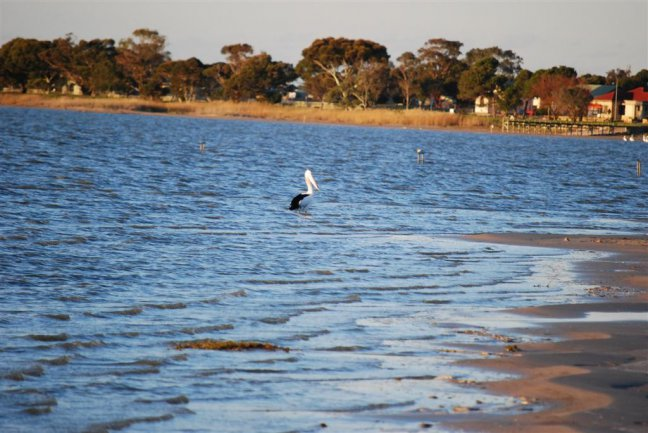 Lake Albert Meningie pelikaan