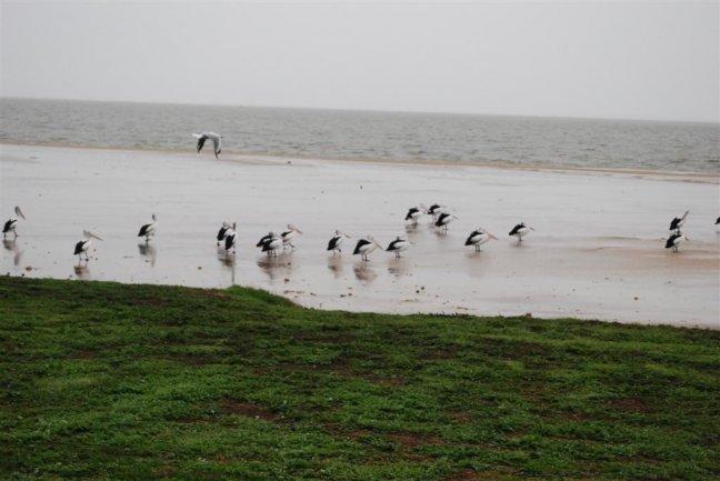 Pelikanen lake Albert Meningie