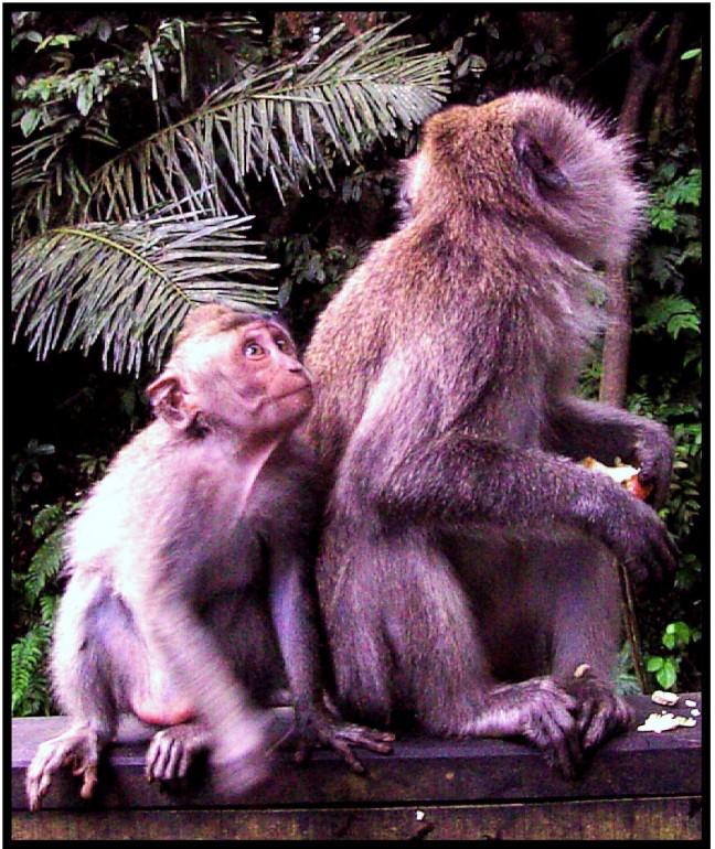 aapjes in het park