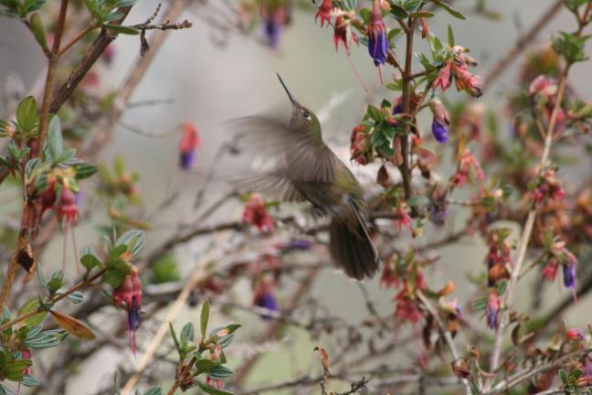 Kolibri tijdens incatrail