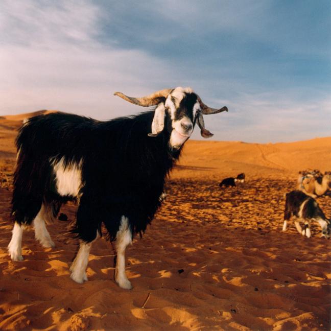 geitje in de Sahara