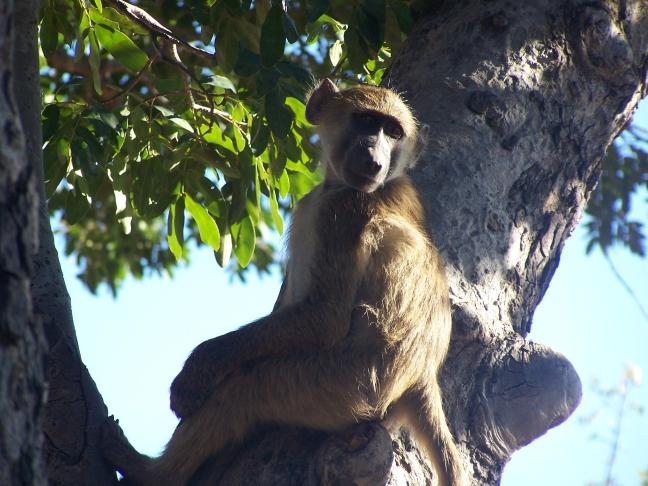 Baviaan in Chobe NP