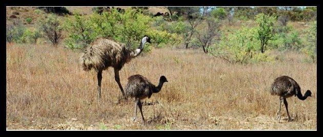 Familie emoe