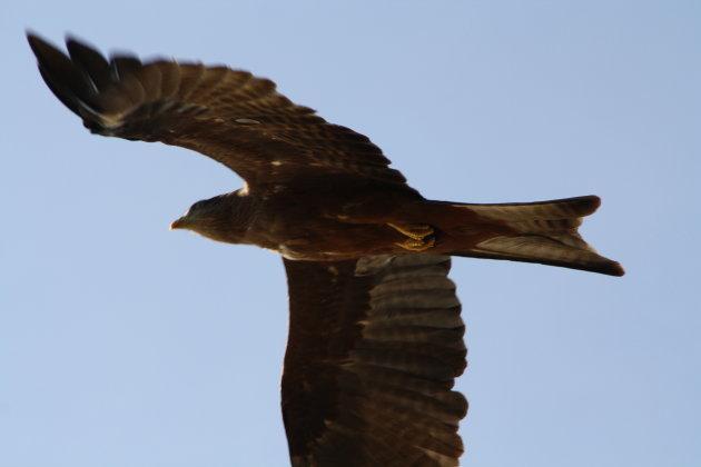 De onderkant van de black kite