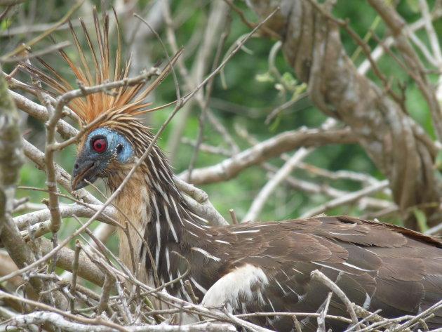 Paradijsvogel op de Rio Yacuma
