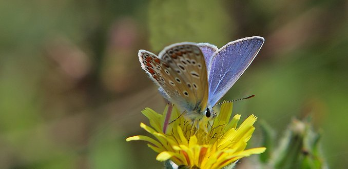 Blauwtje nipt nectar...