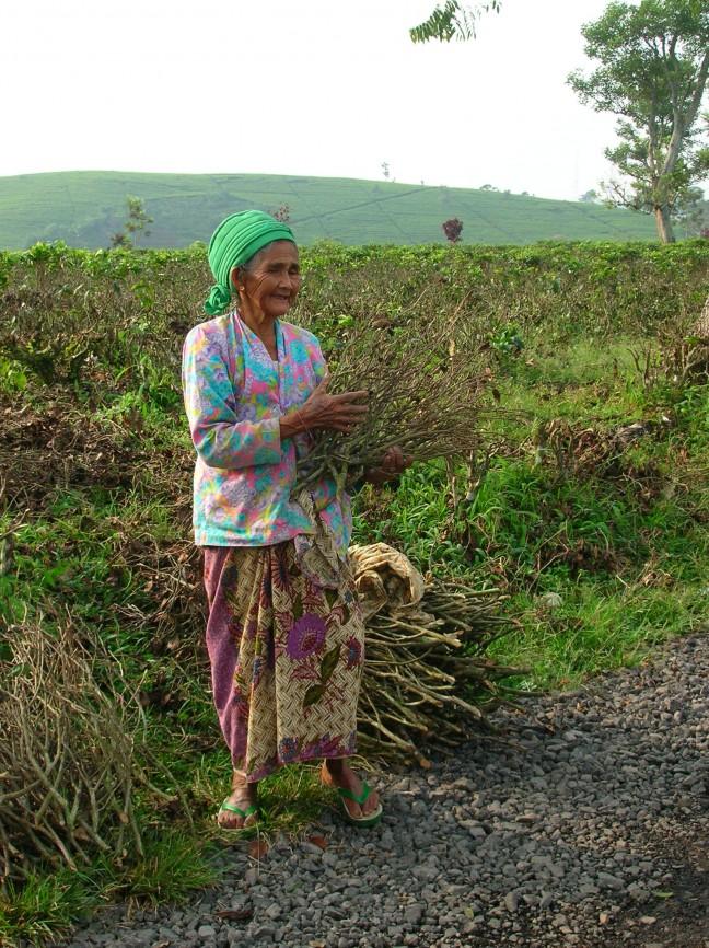 Handarbeid op de theeplantages