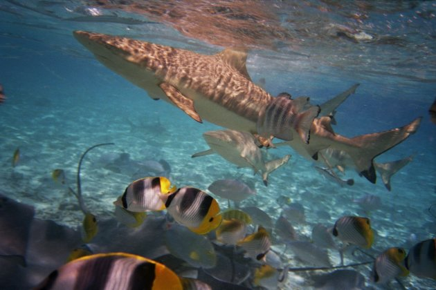 Haaien in de lagune van Bora Bora