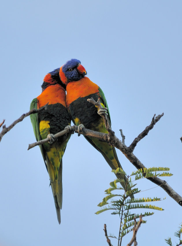 Rainbow lorikeets in love